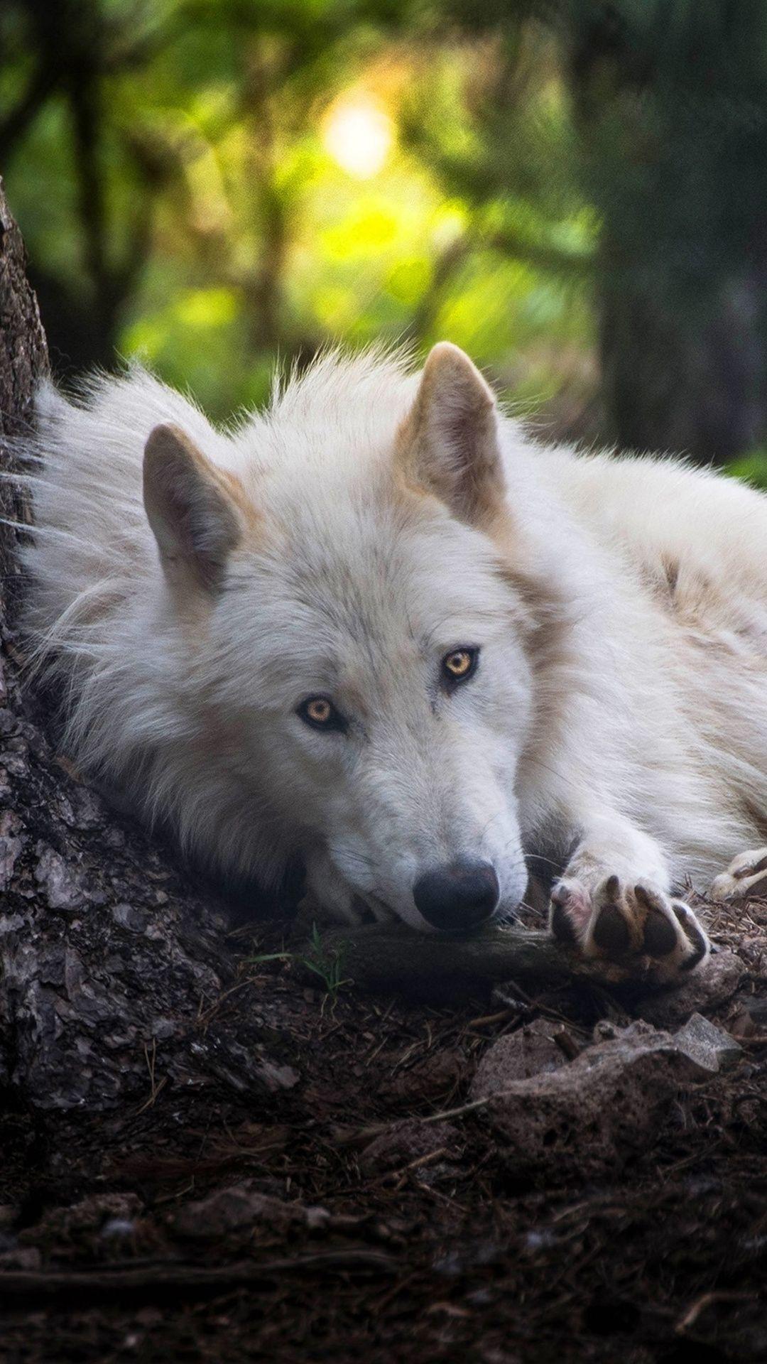 White Wolf In 1080x1920 Resolution Wolf Dog White Wolf Wolf Wallpaper