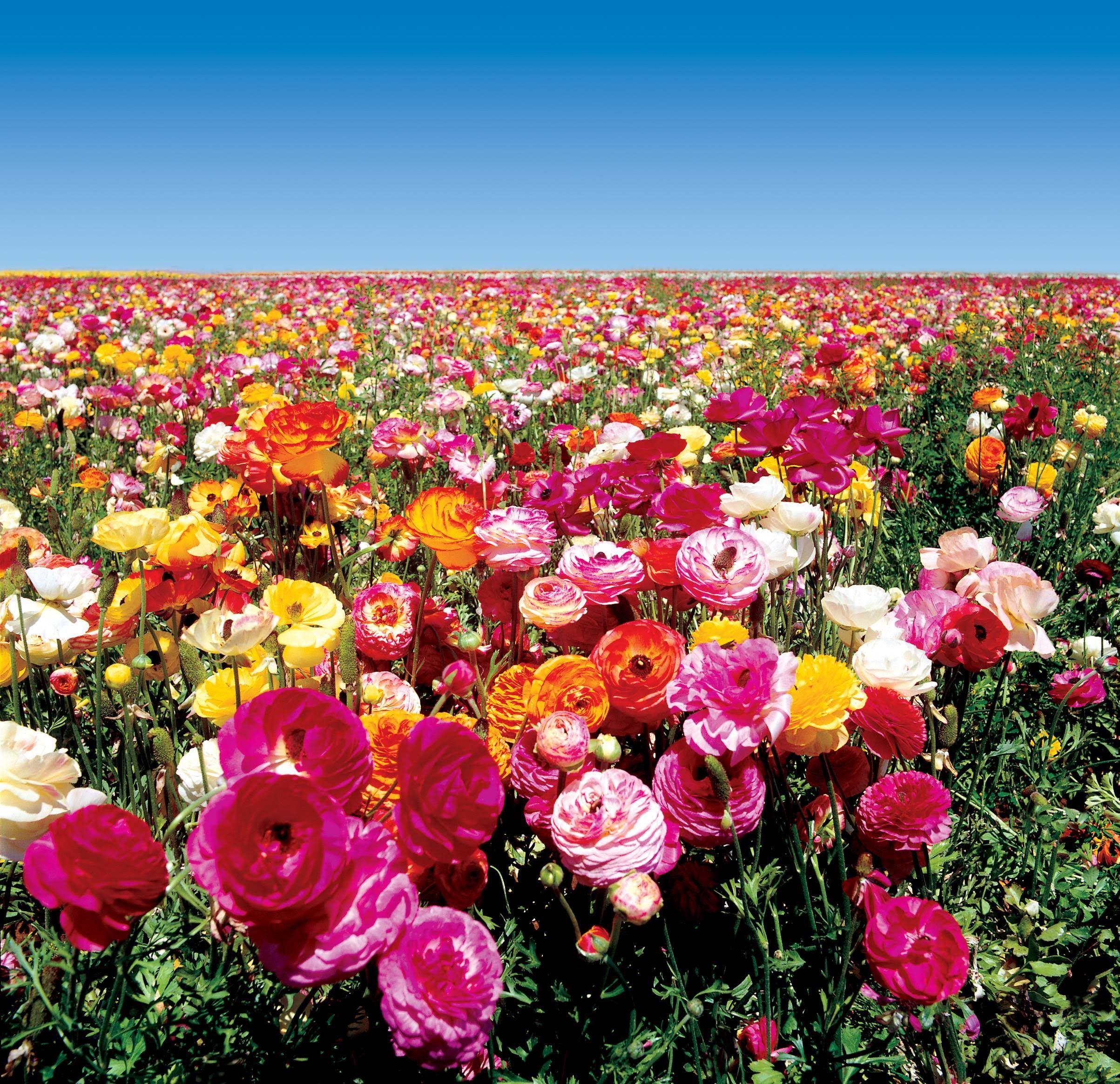 Inbloomgroup Farmfreshflowers Freshflowers Flowers Flower Farmfresh Farmdirectflowers Farmdirect In 2020 Ranunculus Flowers Carlsbad Flower Fields Flower Field