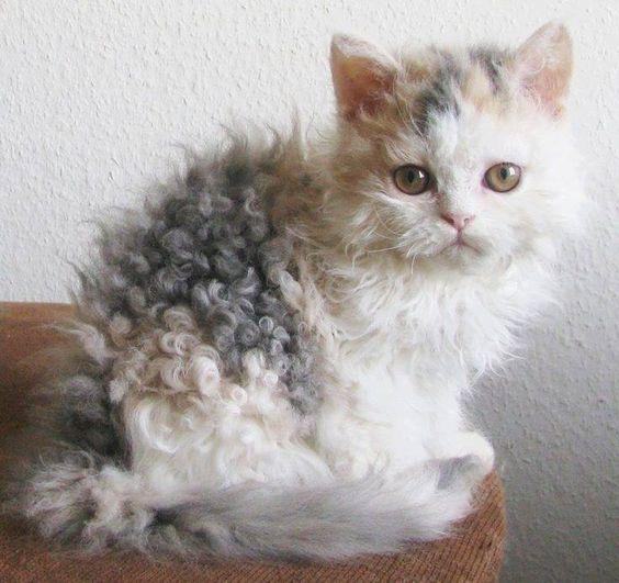 8 einzigartige Katzenrassen mit lockigem Haar, die für das Haustier der Familie geeignet sind #catbreeds
