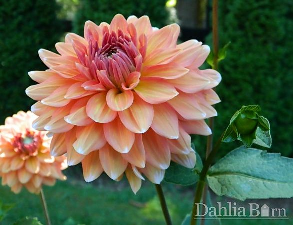 Pin On Our Best Dahlias For Cut Flowers