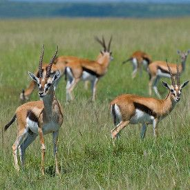 Animals That Start With G Animals Mammals Gazelle
