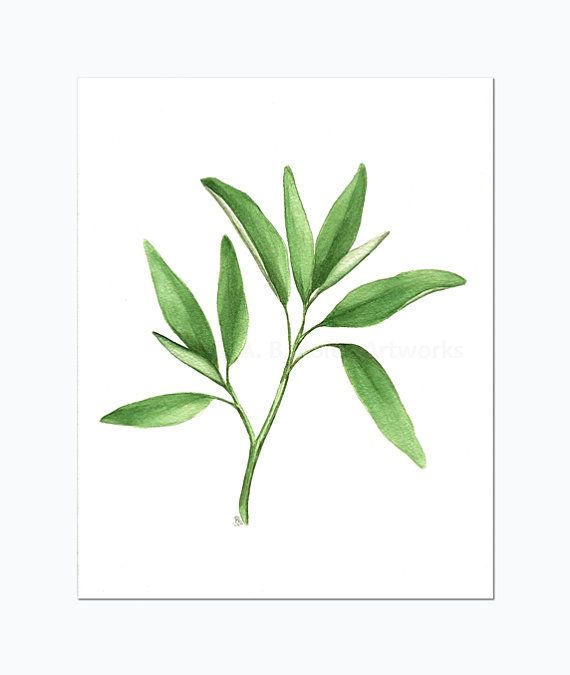 Sage Herb Art Original Watercolor Painting Of Sage Plant Kitchen Art Botanical Illustration