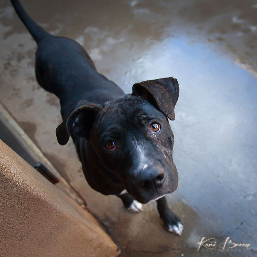 Adopt Yuna on Black labrador retriever, Animal rescue, Pets