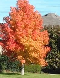 American Sweet Gum Tree Sweet Gum Fast Growing Trees Plants