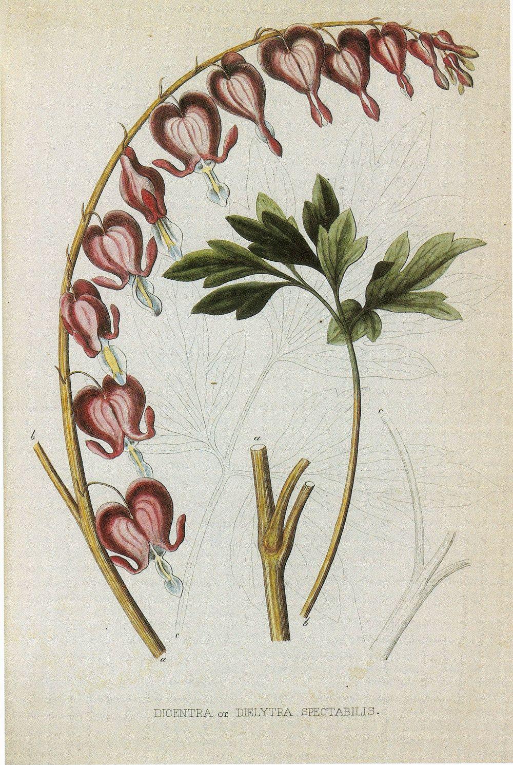 Vintage botanical book print by prestele of bleeding heart