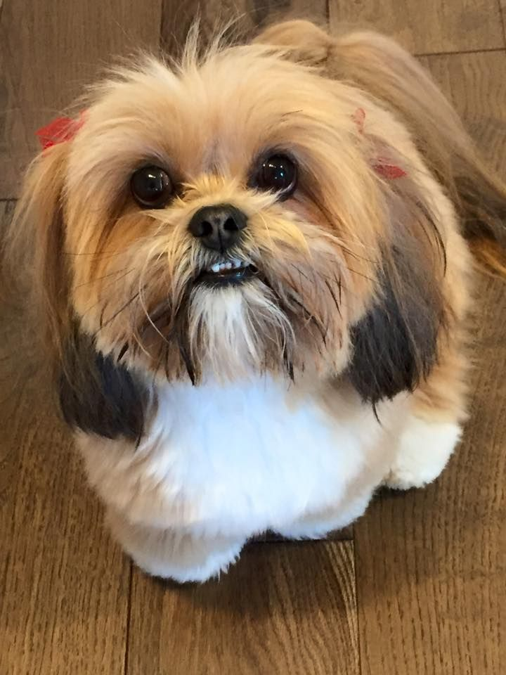 What Beautiful Colouring On This Lhasa Apso Lhasa Apso Lhasa