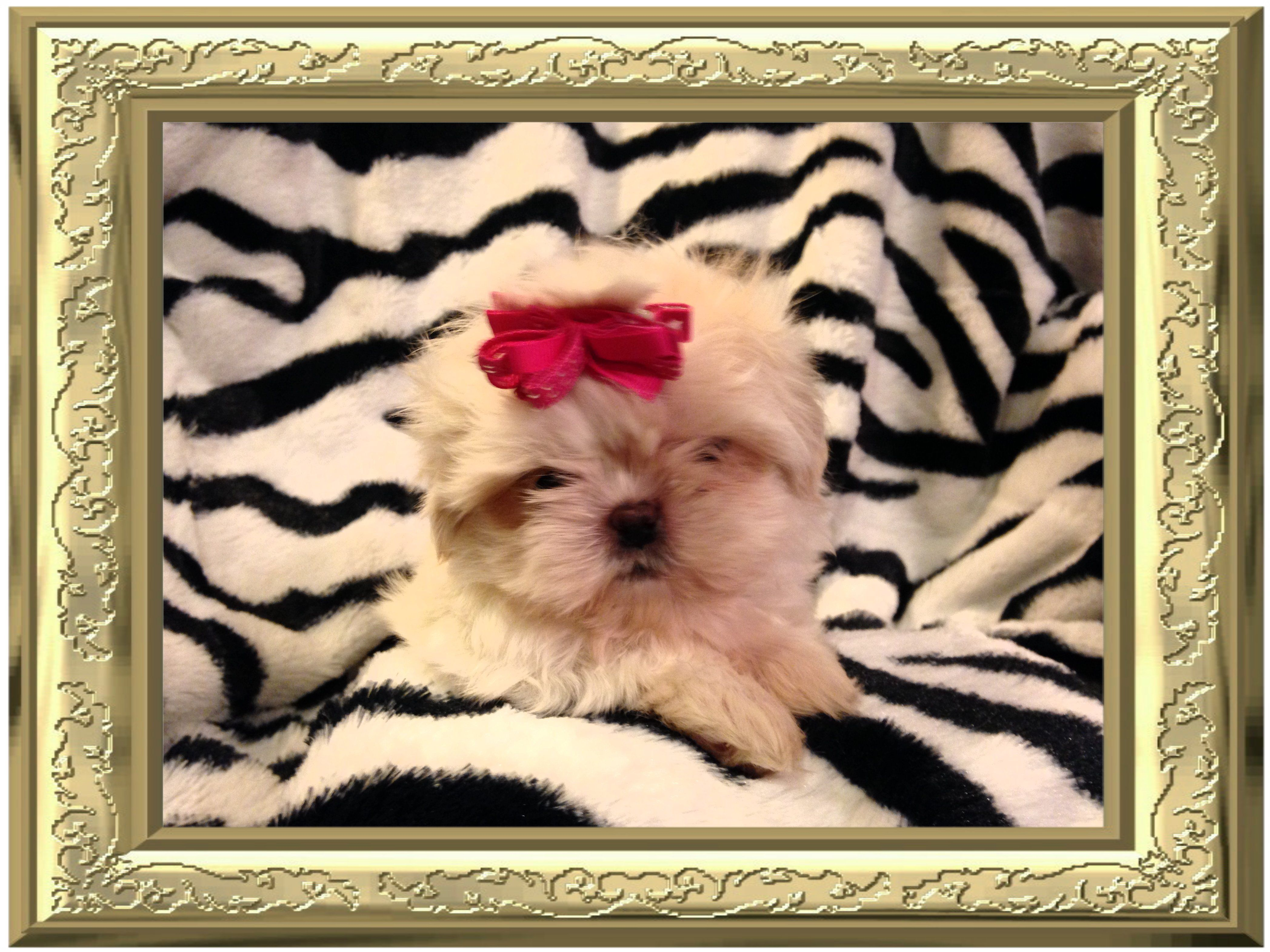 I M An Akc Tiny Teacup Shih Tzu Puppy For Sale Cream White