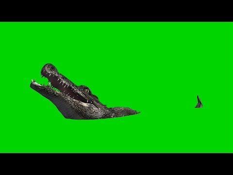 crocodile alligator eats royalty free green screen 1 youtube
