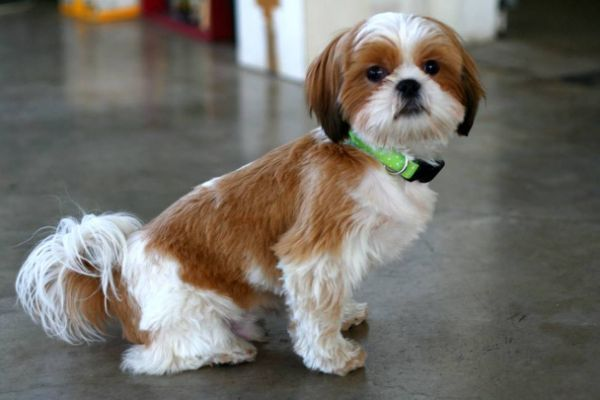 Male Shih Tzu Haircuts Styles Pictures Gracie Pinterest Dog