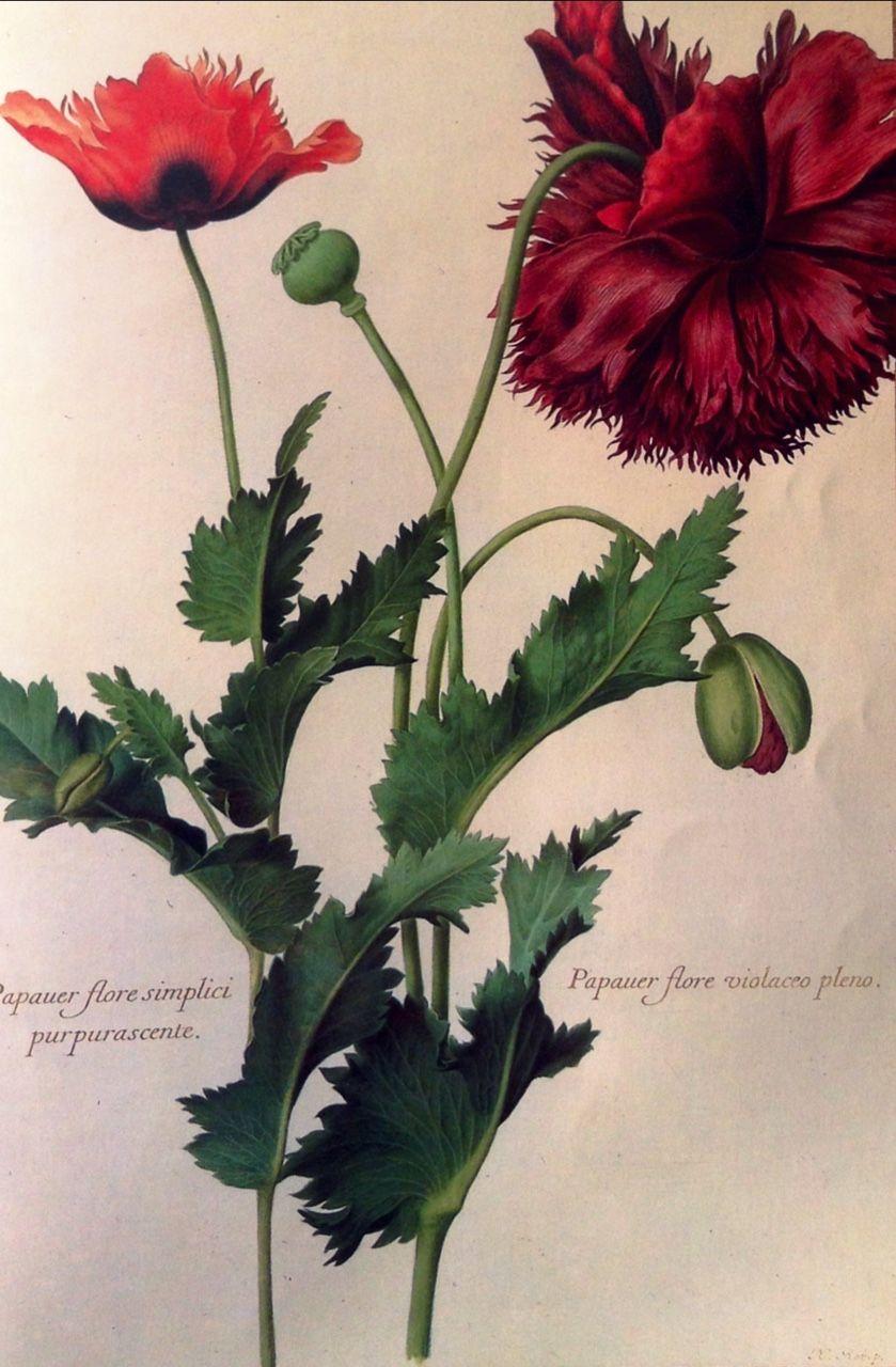 Nicolas Robert (1614 1685) Botanical art, Poppies, Flowers