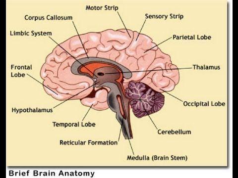 321 Brain Anatomy By Ressam Yehia Youtube Ct Pinterest