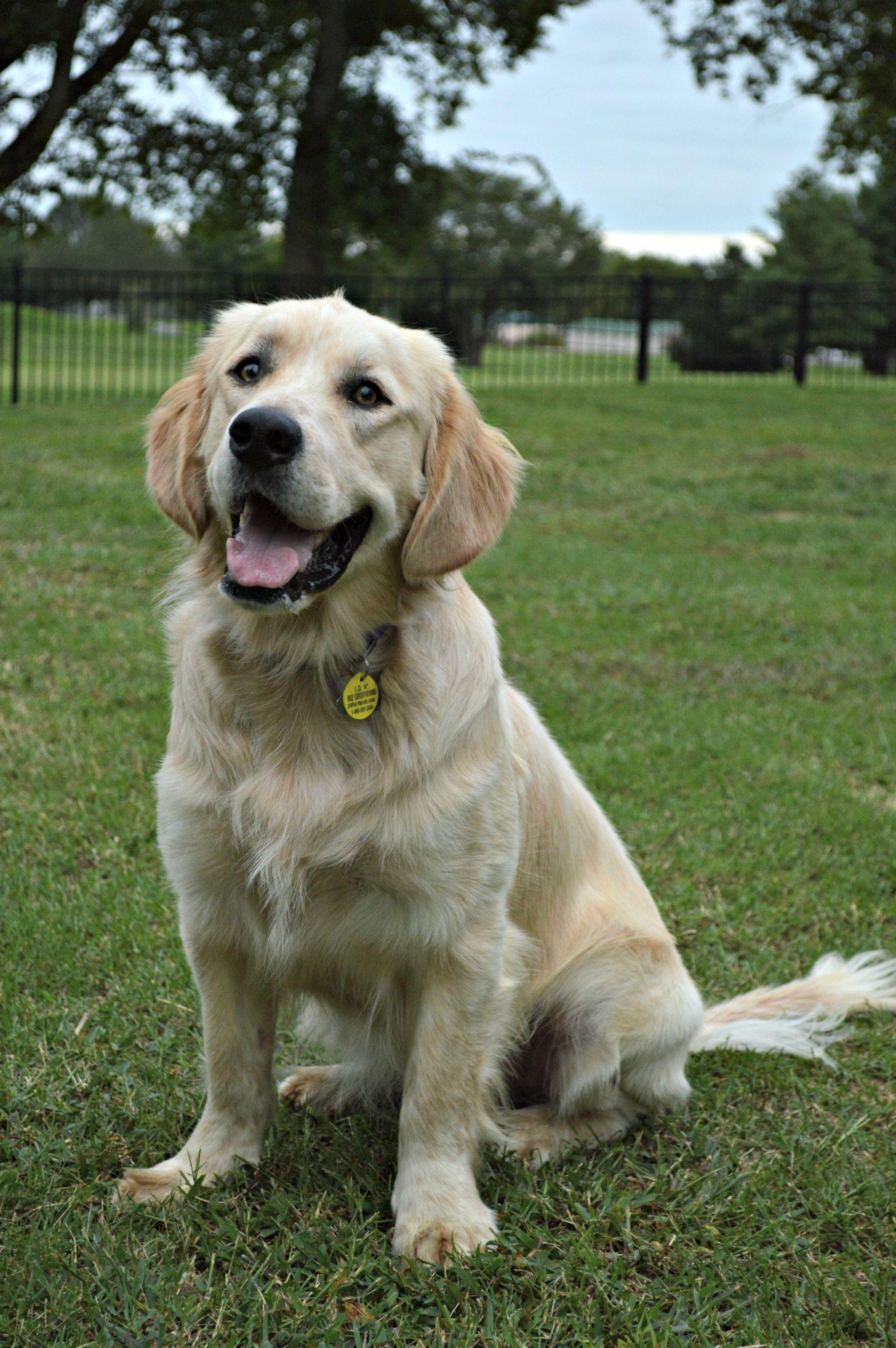 Pin By Paige Austin On Pets Golden Retriever Rescue Golden