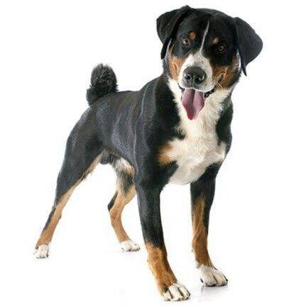 Appenzeller Sennenhund Big dog breeds, Dog breeds, Swiss