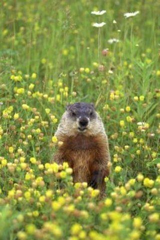 Homemade Groundhog Repellent Hunker Get Rid Of Groundhogs Groundhog Repellant Groundhog