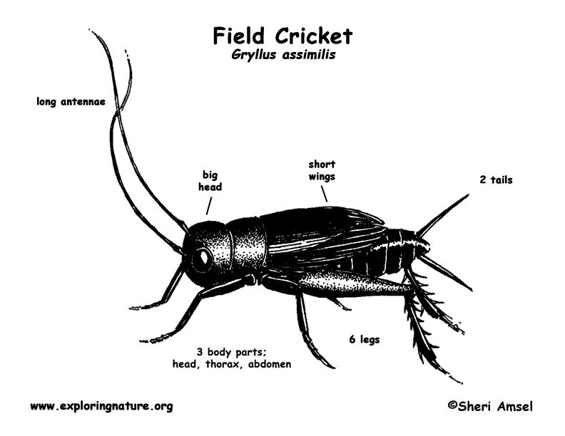 Crickets Chirping Google Search Cricket Field Crickets Chirping