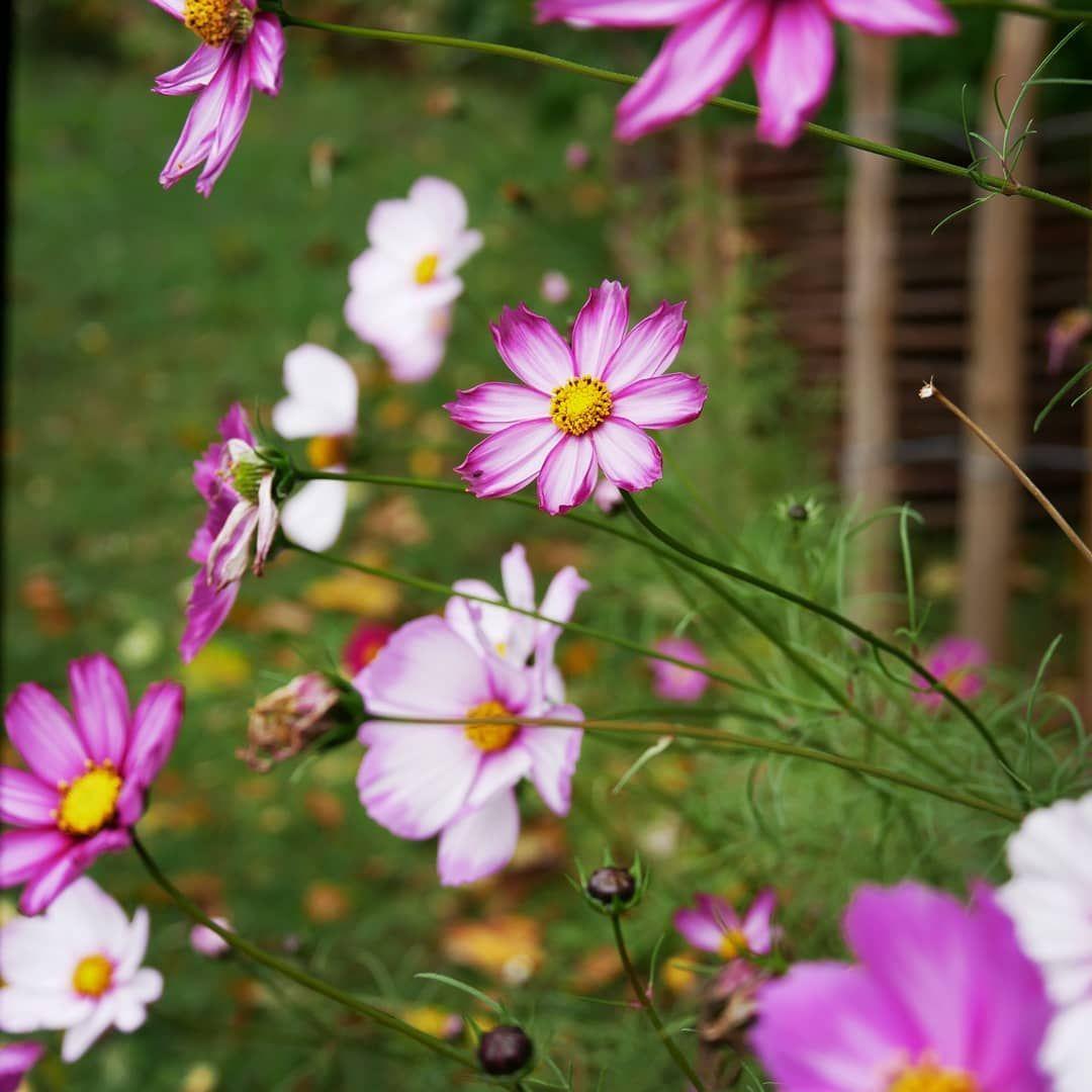 Guten Morgen Die Schmuckkorbchen Geben Bei Herbstlichem Sauwetter Nochmal Alles Vielleicht Habe Ich Sie Im Sommer Zu Wenig Gegossen G Garden Plants