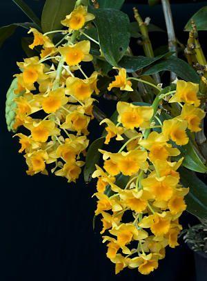 Dendrobium Densiflorum Clear Mountain Garden Treasures Orquideas Cymbidium Orquideas