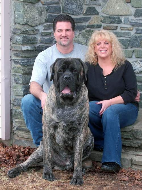 Pomfret Mastiff Will Compete In Westminster Dog Show Westminster Dog Show English Mastiff Mastiffs