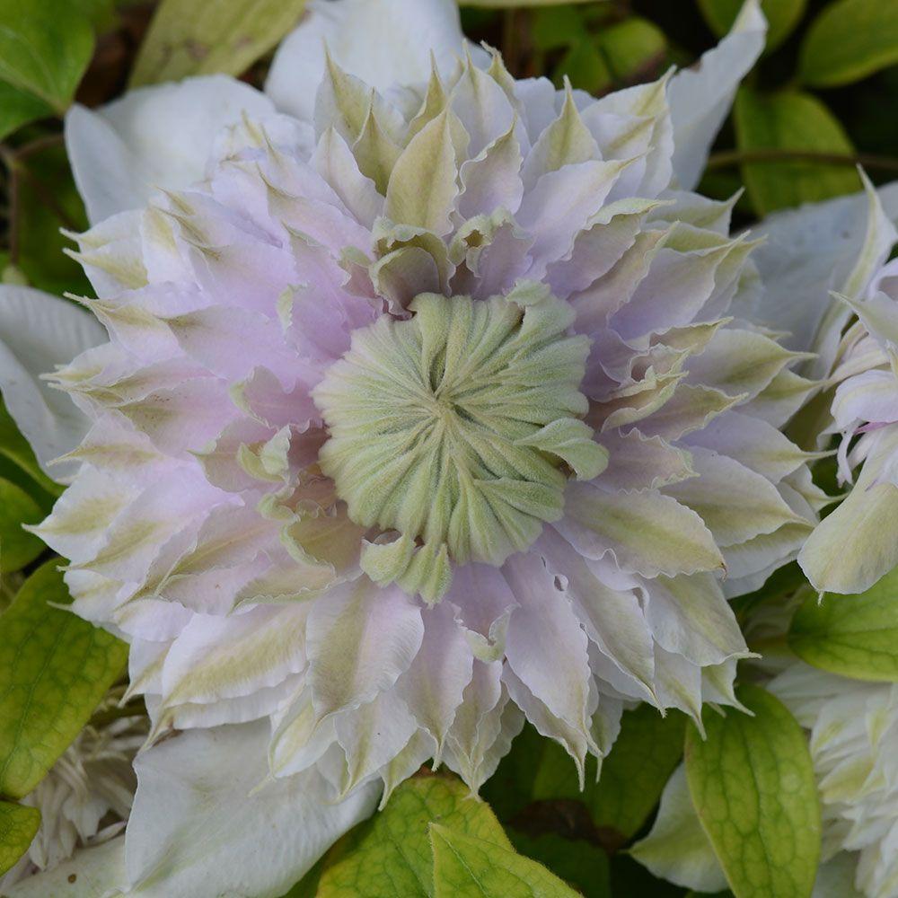 Clematis umoonglowu flowers clematis pinterest clematis