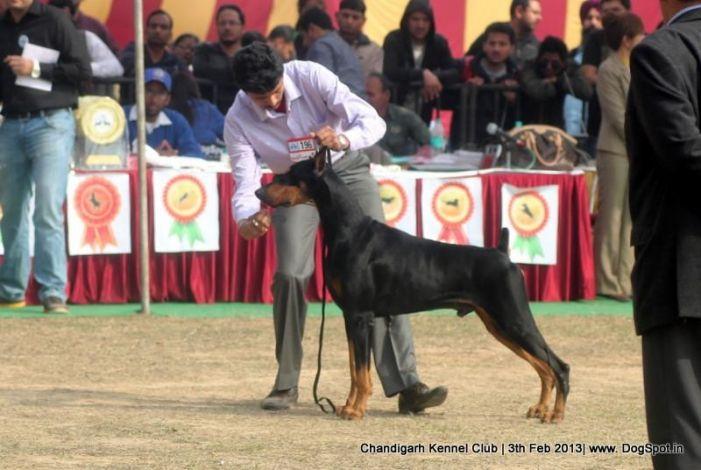 Doberman Pinscher Stacking In Chandigarh Dog Show Dog Show Dogs