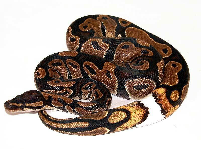 Super 66 best Python Regius morpen images on Pinterest | Python regius  XA29