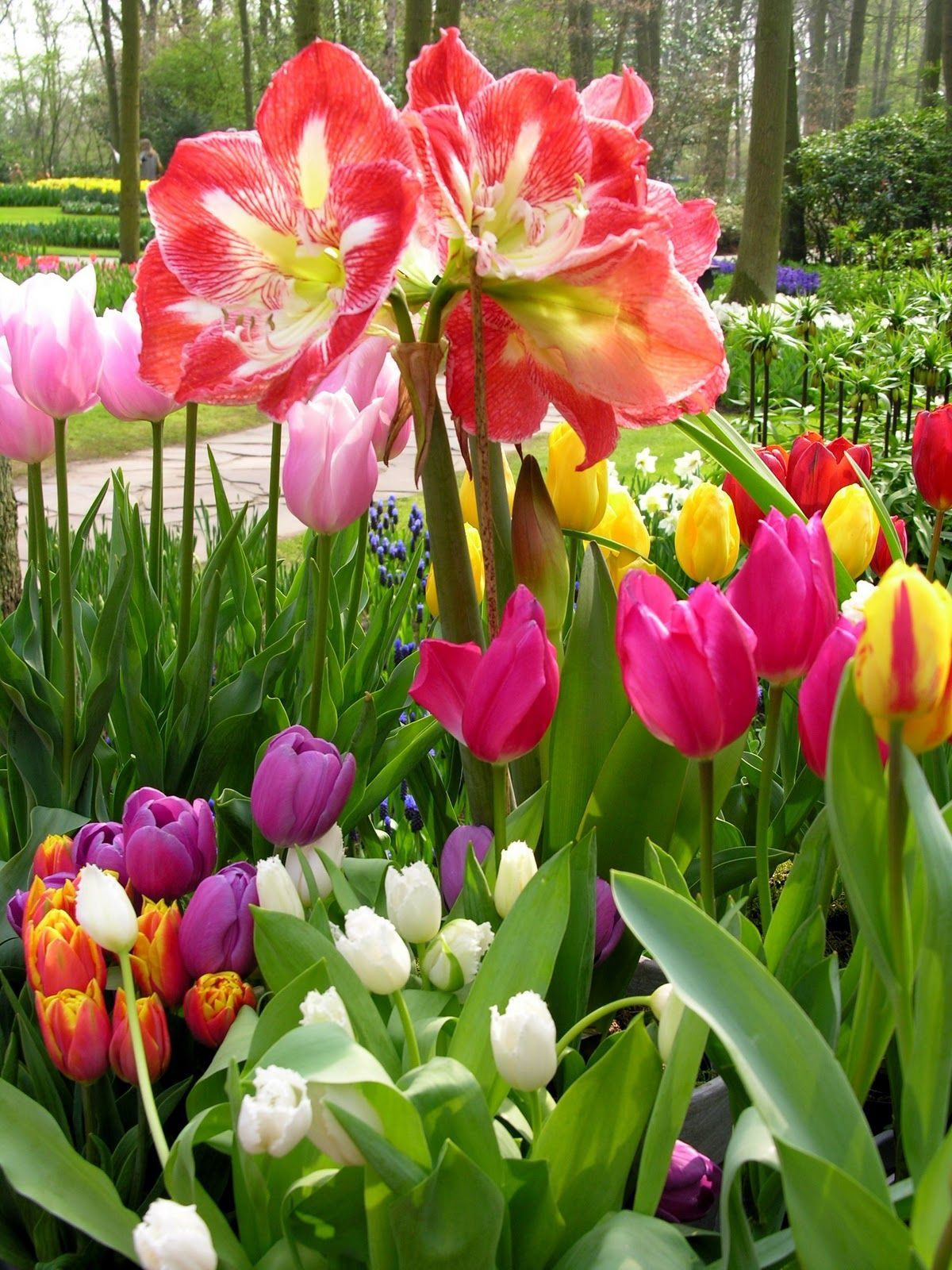 Amaryllis and tulips 3 roses are red violets are blue amaryllis and tulips izmirmasajfo