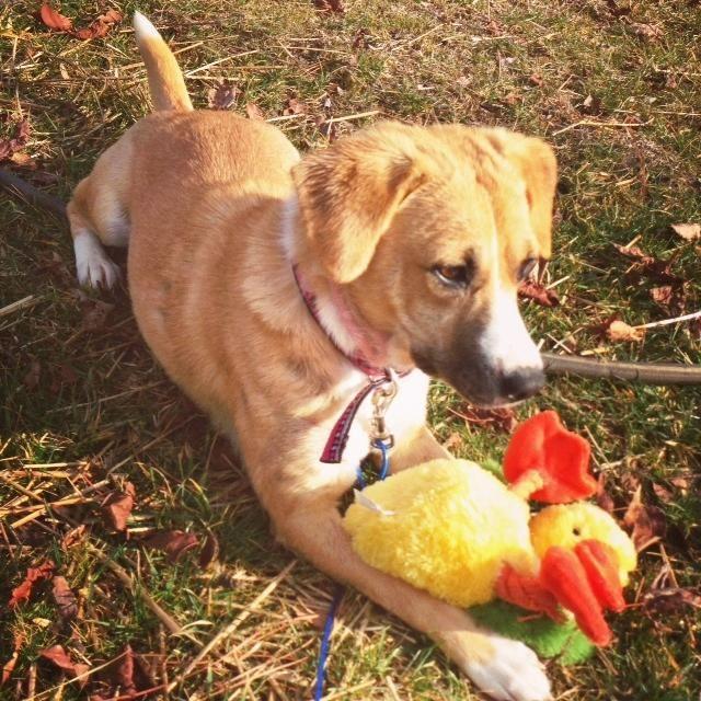 Adopt Phoenix on Adoption form, Shetland sheepdog, Adoption