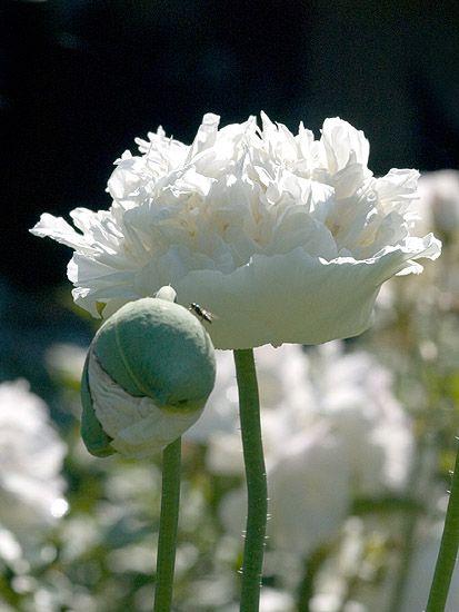 Papaver White Poppy Garden Papaver Beautiful Flowers