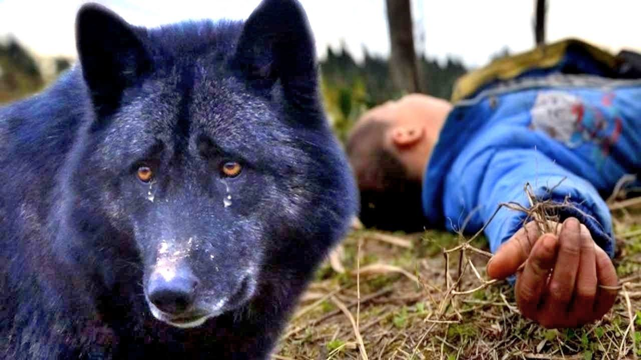 Amazing Story About The Wolf S Loyalty Youtube Dog Died