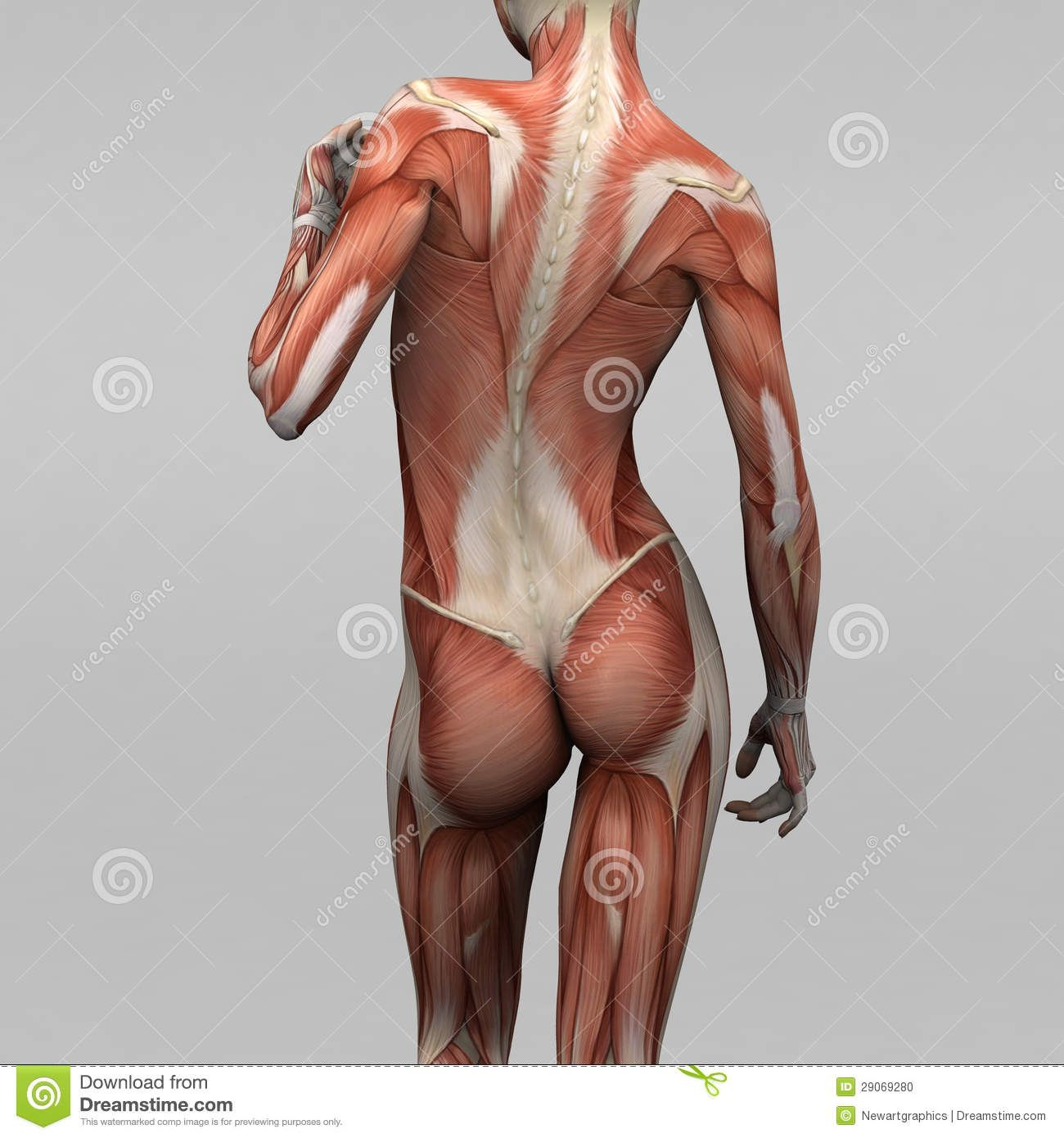 muscle anatomy | stock photo: female human anatomy and muscles, Muscles