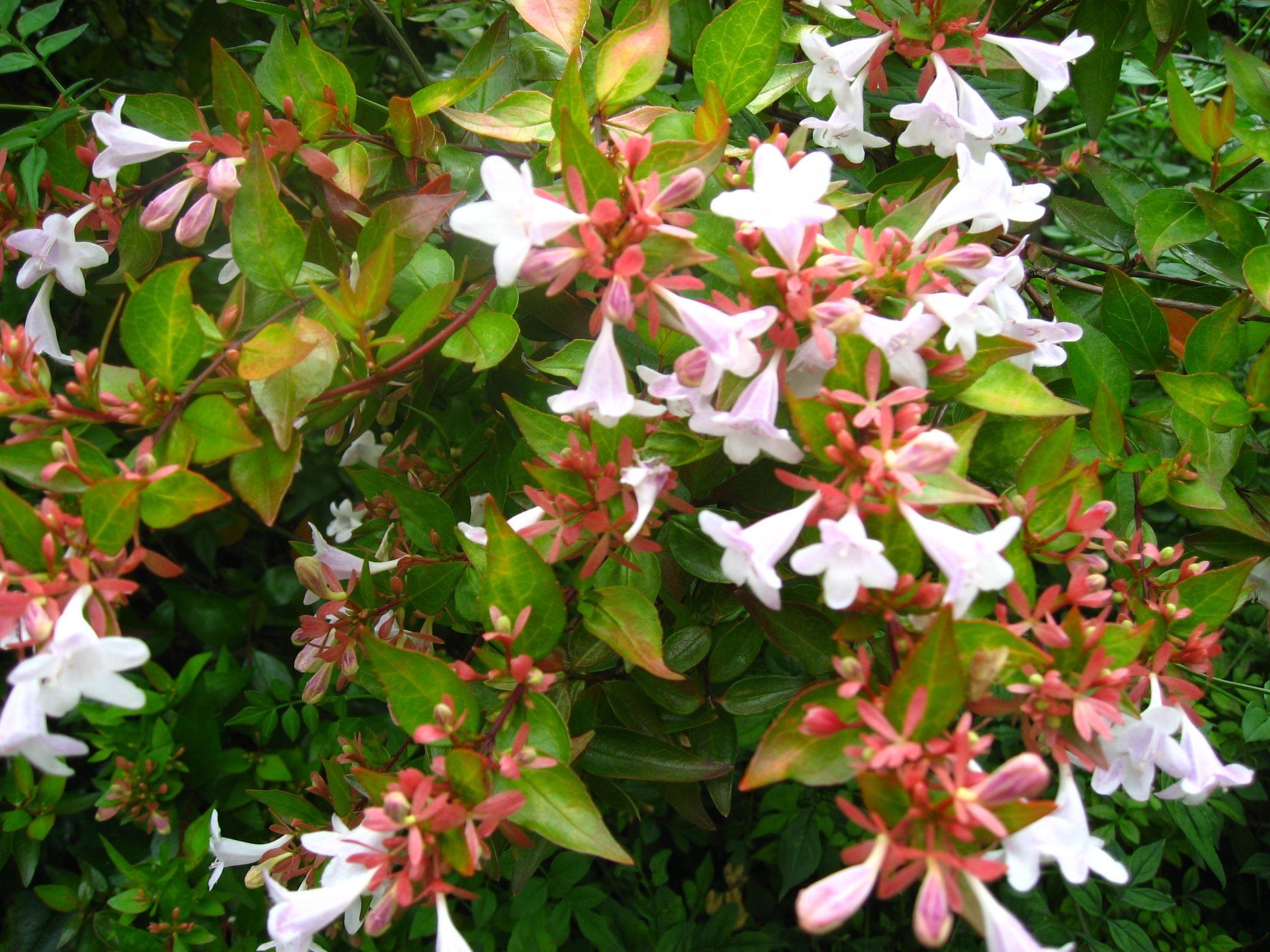 abelia grandiflora gf sh abelia pinterest shrub evergreen and plants. Black Bedroom Furniture Sets. Home Design Ideas