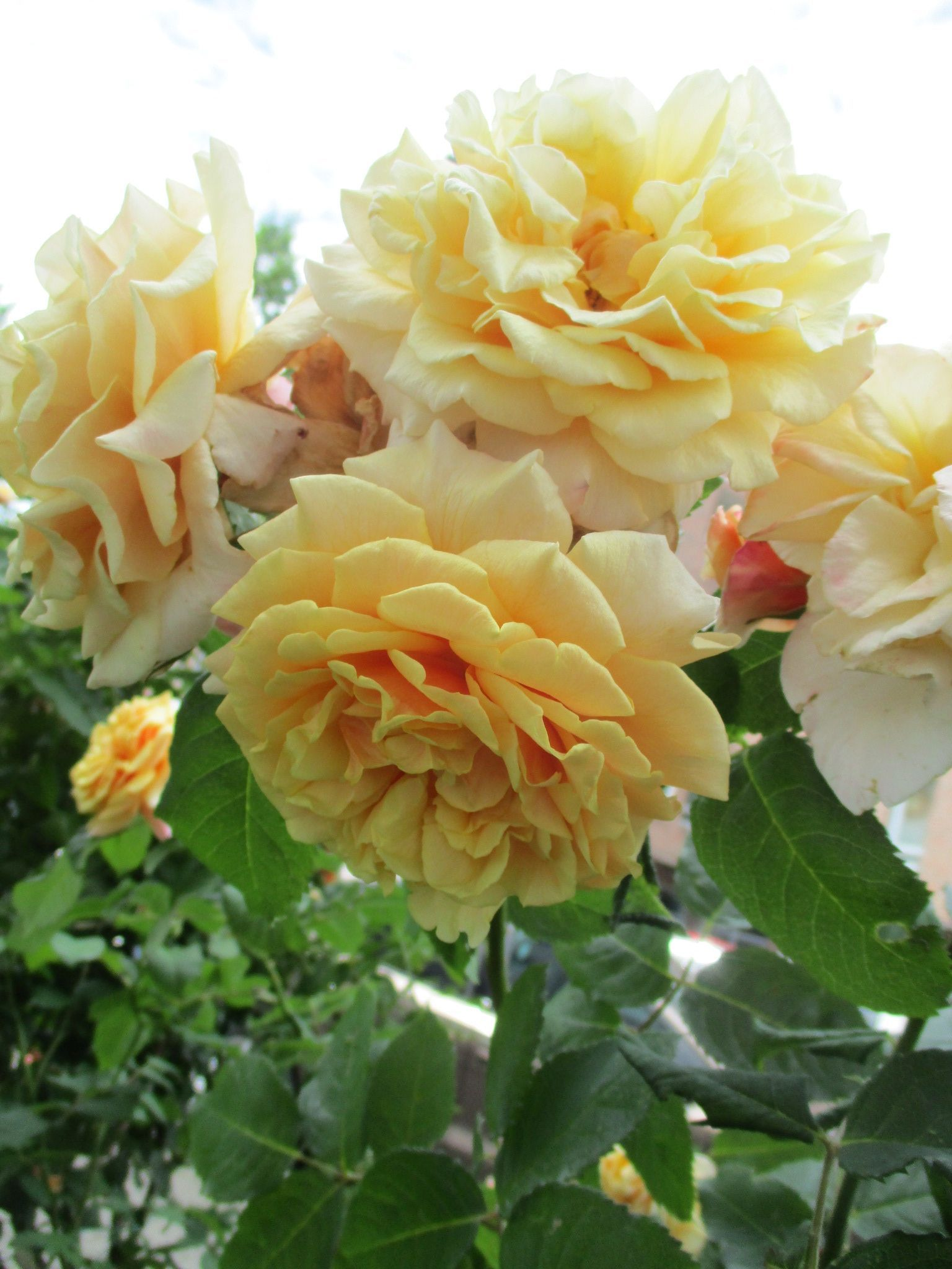Rose caramella rosen pinterest