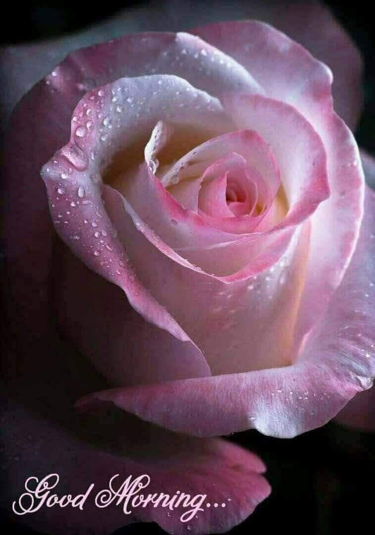 Pinky Morning Good Morning Pinterest Flowers Beautiful