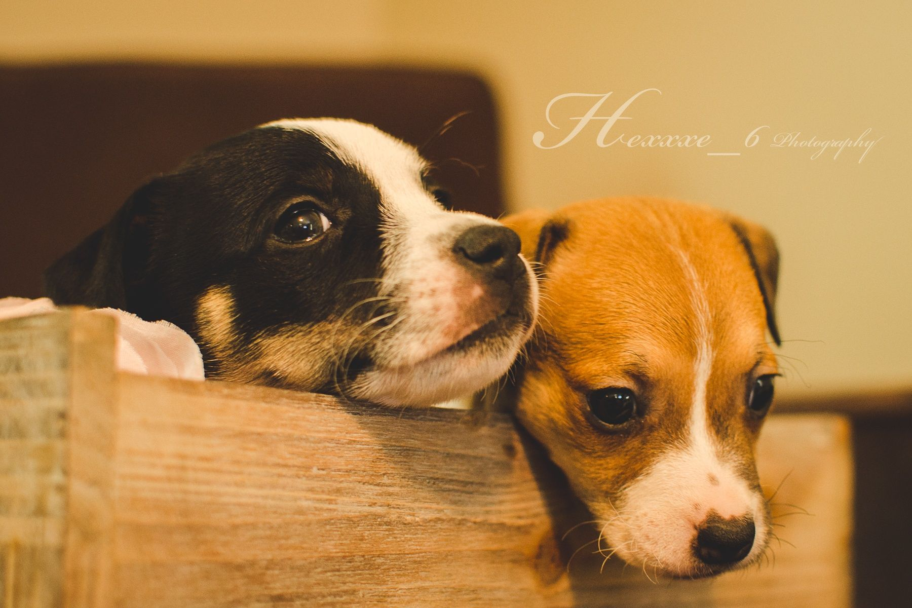 Puppies by Hexxxe_6 Photography on 500px #puppy #puppies #jack #russell #terrier #dog #photography #style
