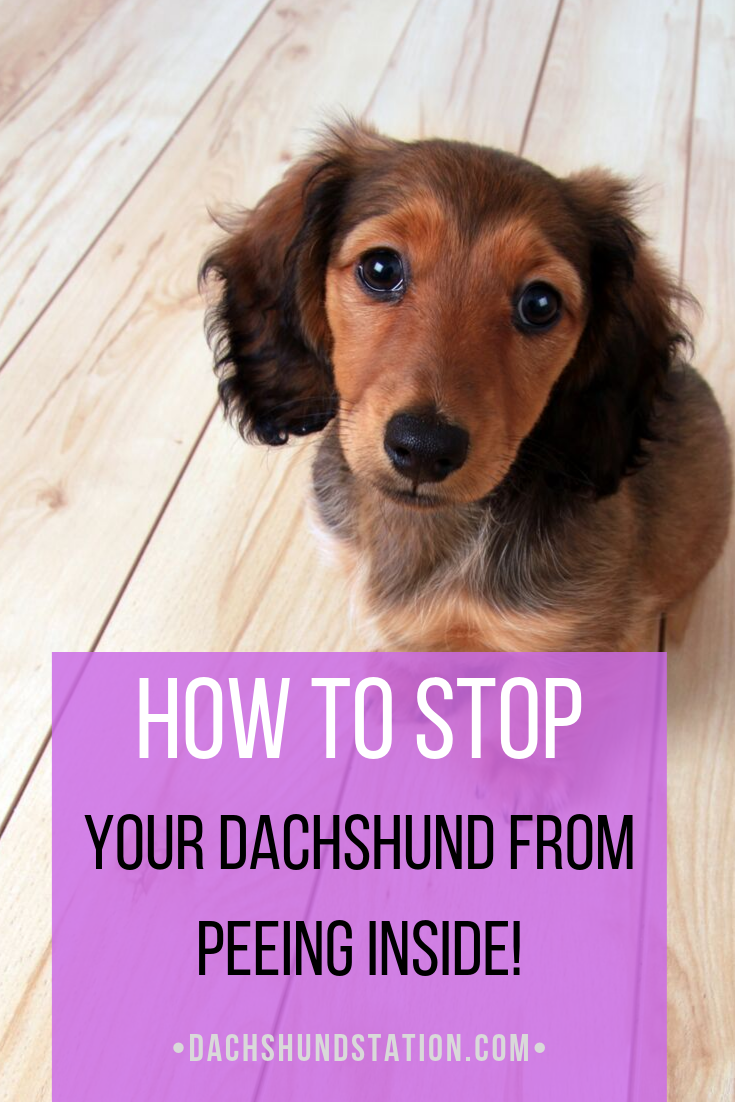 6 Easy Tips For Potty Training Your Dachshund Dachshund Dachshund Puppies Dachshund Puppy