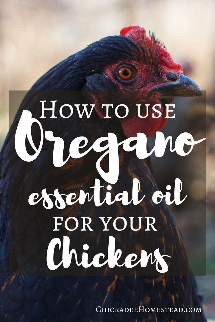 How to Use Oregano Essential Oil for your Chickens