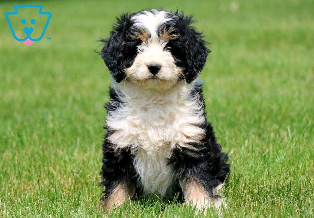 Rain Mini Puppies Bernedoodle Puppy Bernedoodle
