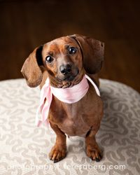 Adopt Hazel On Dachshund Dog Dachshund Mix Creature Comforts