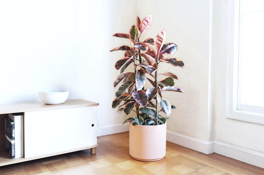 Pink Rubber Tree Free Plant Delivery In The San Francisco And Los Angeles Areas By Leon George In Plant Decor Indoor House Plants Indoor Easy House Plants