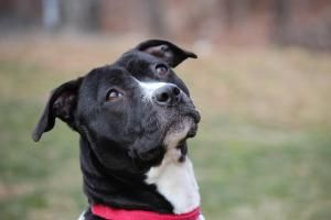 I Found Juliet Foster Needed On Dog Adoption Dogs American Staffordshire Terrier