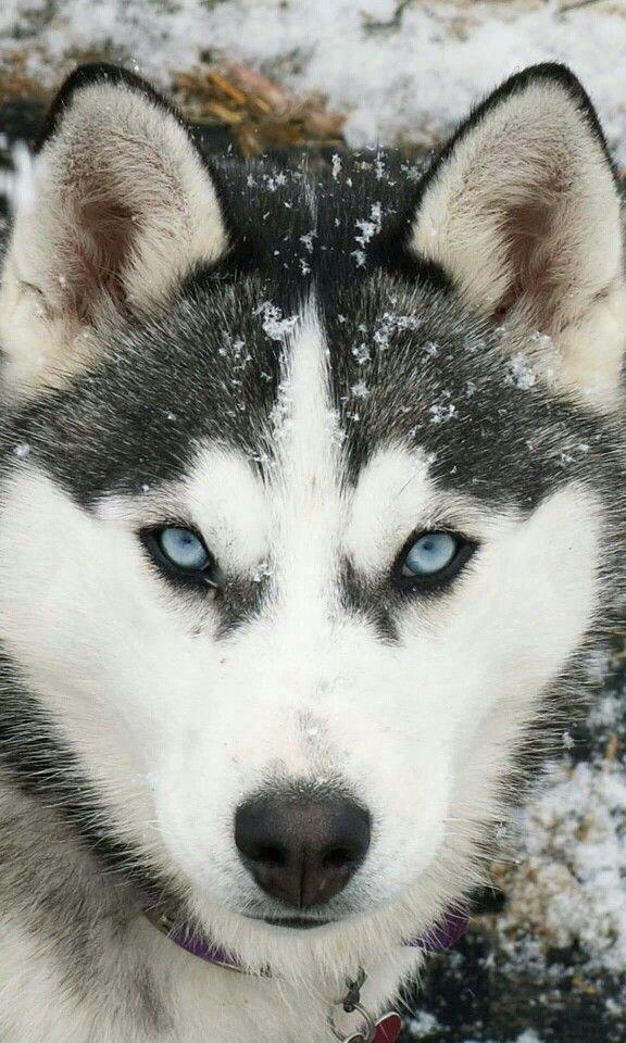 Loyalty Harsky With Images Siberian Husky Dog Siberian Husky