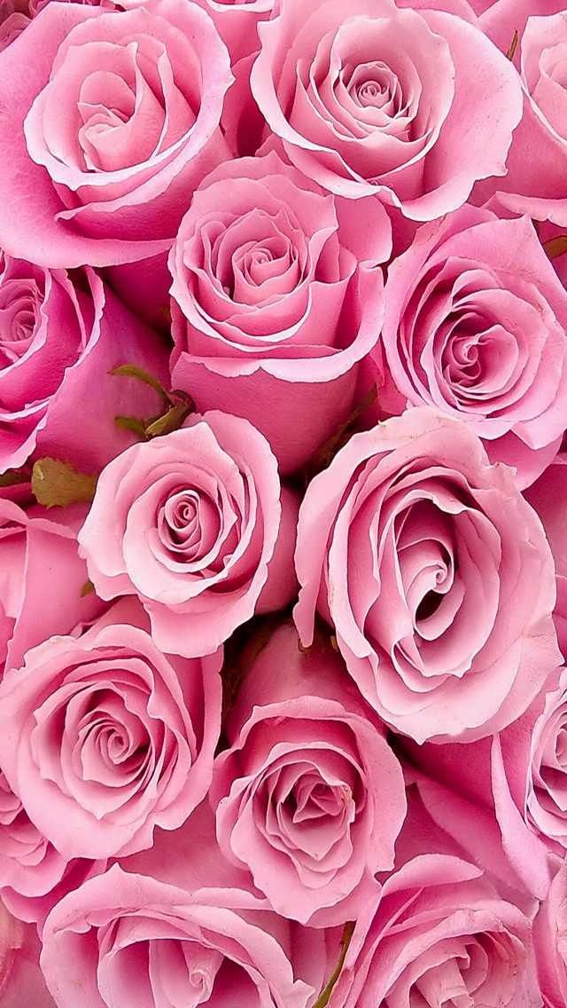 iPhone 5 wallpaper Rose wallpaper, Flower wallpaper