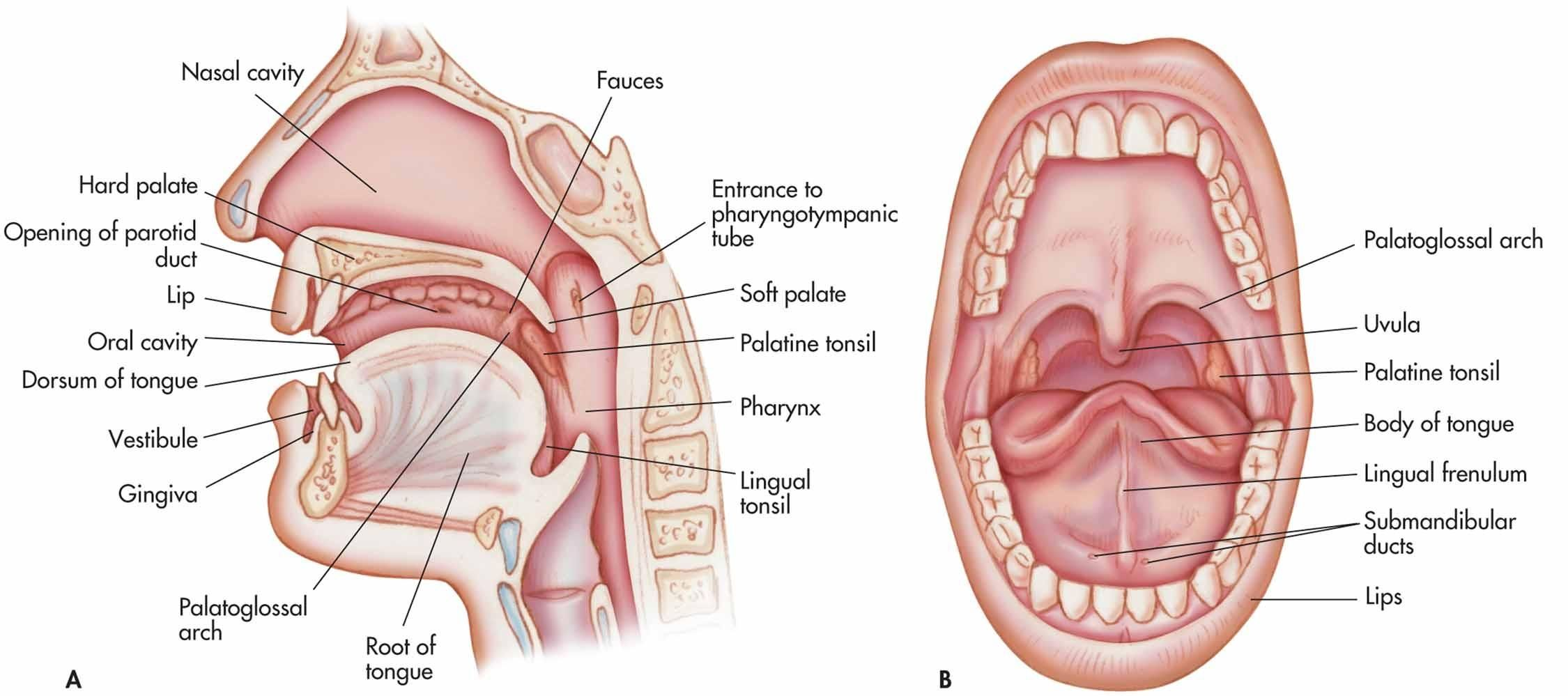 Anatomy Of Mouth Anatomy Of Oral Cavity Human Anatomy Diagram ...