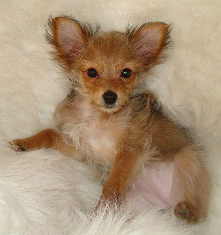 Lulu The Yorkie Chihuahua Mix Yorkie Chihuahua Mix Pitbull Terrier Cute Dog Costumes