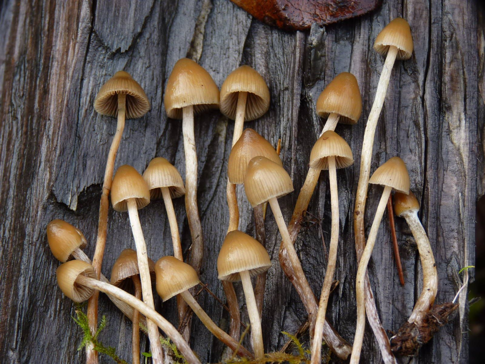 Psilocybe pelliculosa hunters please comment - Mushroom Hunting and