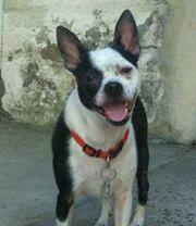 Boston Terrier Jack Russell Mix Con Imagenes Bojack