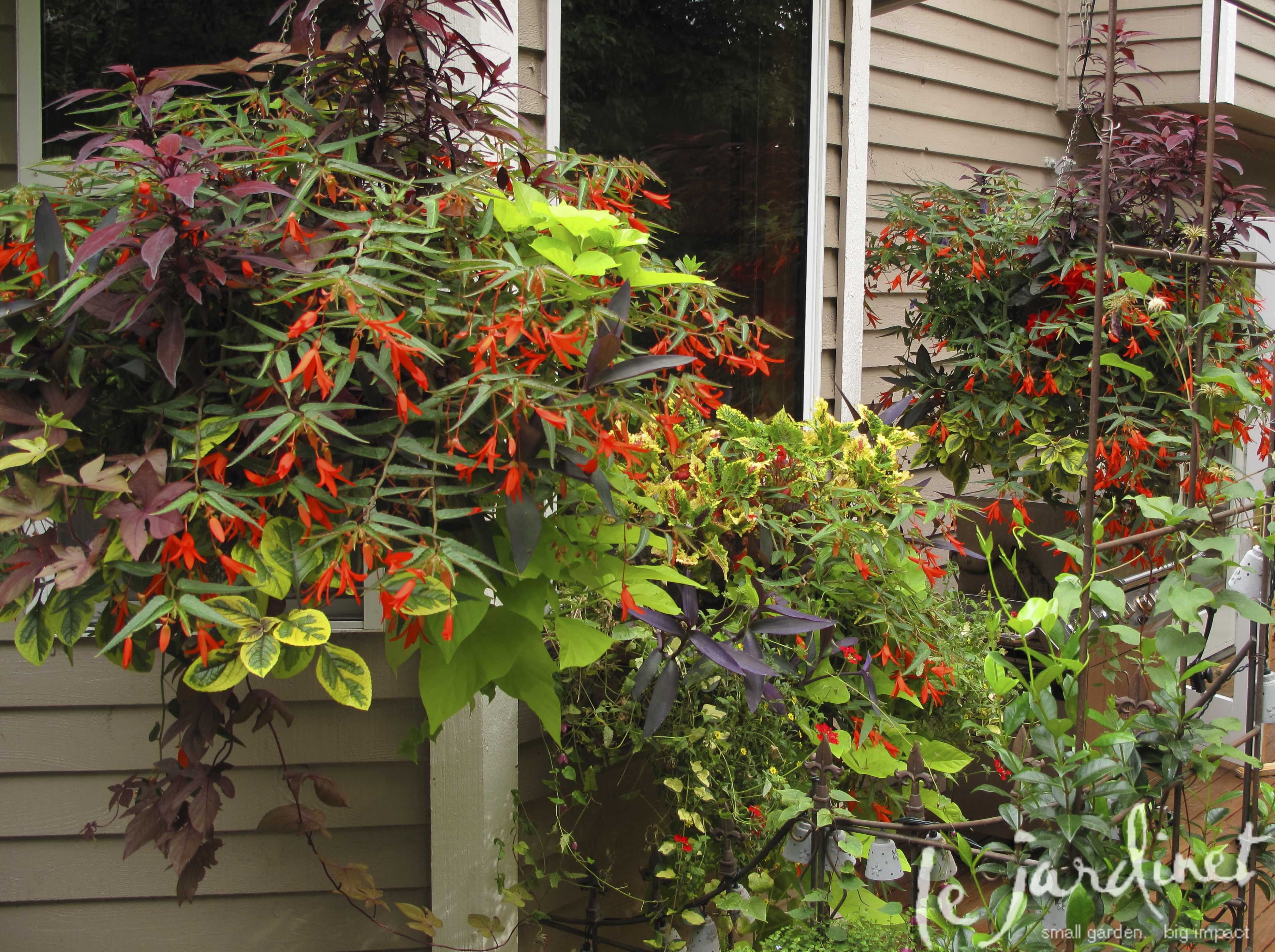 Bonfire begonia in a hanging basket with sweet potato vines & more ...