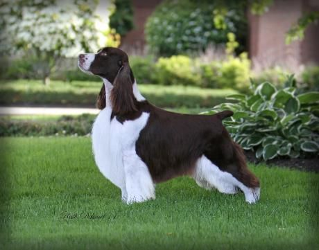 Pin By Bonnie On Dogs English Springer Spaniel Springer Spaniel Spaniel