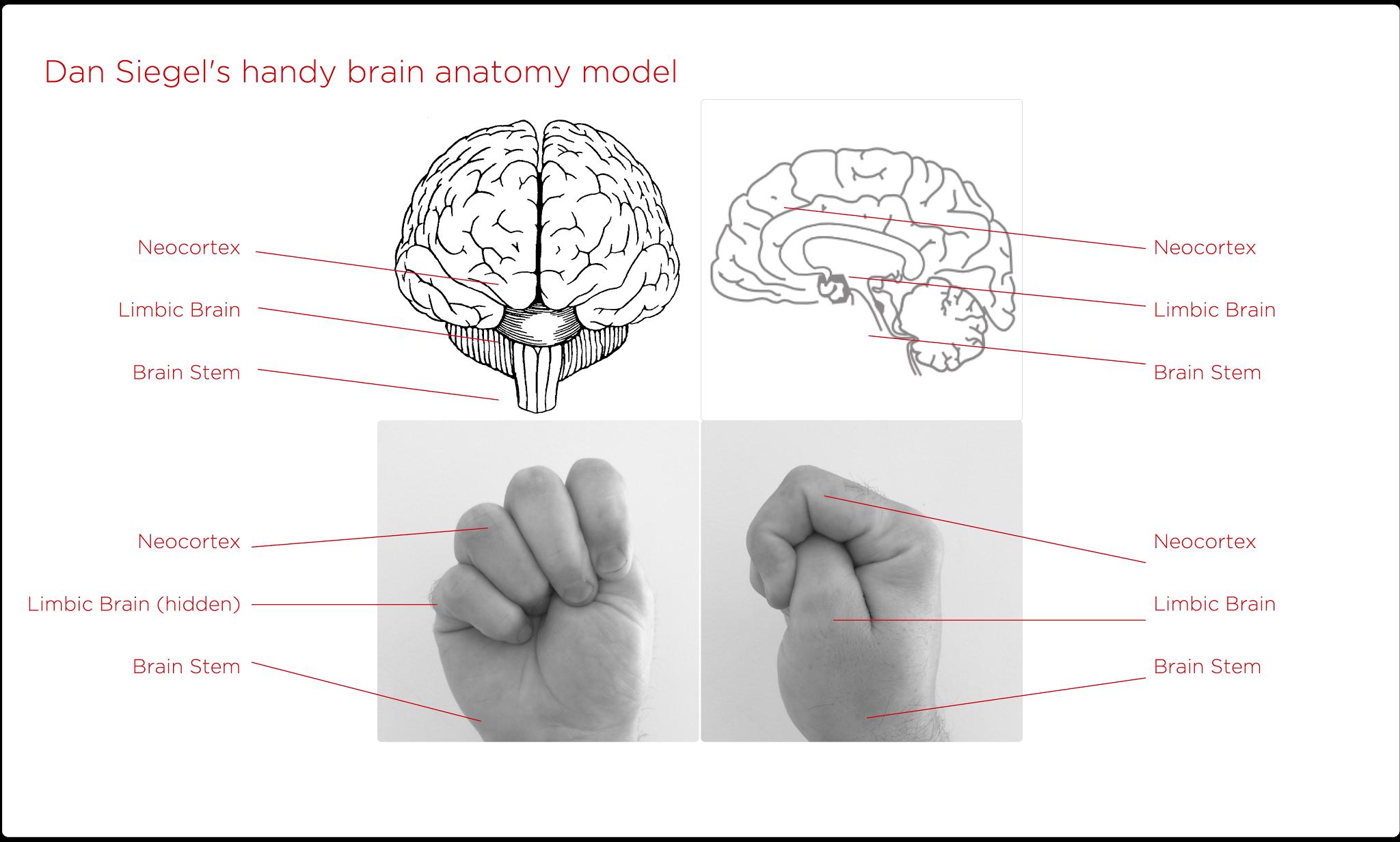 Image result for dan siegel brain anatomy model | SEL | Pinterest ...