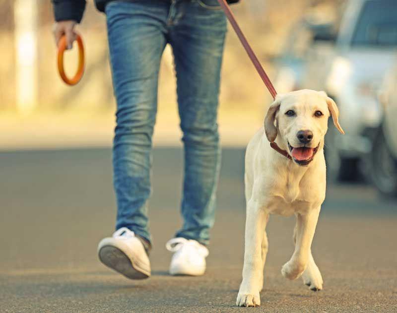 Teach A Dog To Heel How To Train A Dog To Walk Beside You Dog